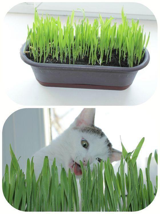 Какую траву сажают для кошек 7