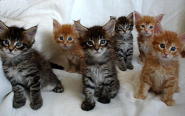 купить котенка породы мейн кун.