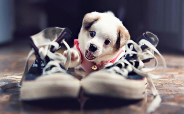 Невоспитанный щенок.